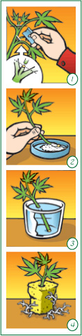 How to: Make Cannabis Clones