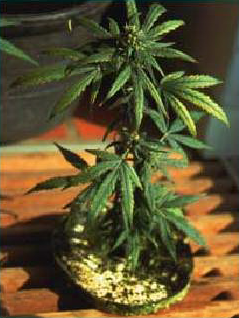 Growing | Marijuana & Cannabis Blog