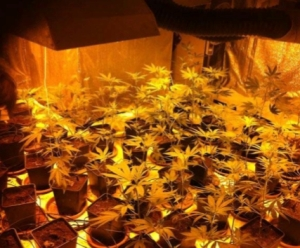 Cannabis plants from an indoor grow dismantled by police in Lausanne, Switzerland (photo by police)